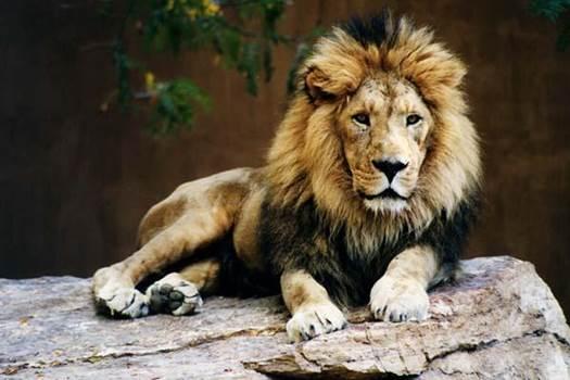 taronga zoo sydney australia lion