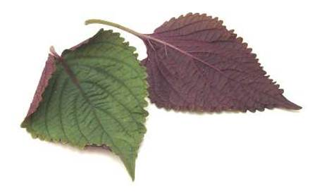 Description: Perilla leaves is also a great remedy for the morning sicknesses treatment