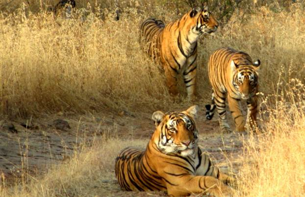 Description: Roar! Tiger Encounters in Ranthambore, India