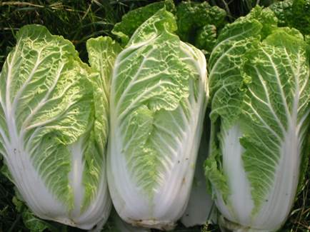 Cabbage is very good for health.