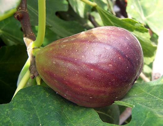 Fig and young leaves help galactopoietic for pregnant women.