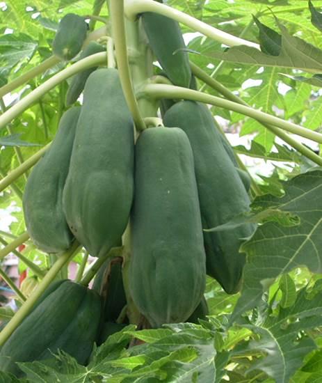 Green papaw contains a lot of vitamins, fats and vitamins.