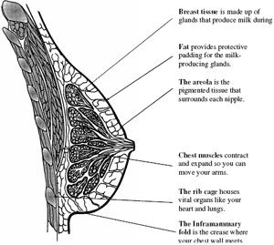 Description: Breast structure