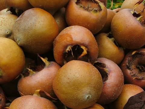 The Medlar has an ability to excite the uterus and stimulate the elasticity.