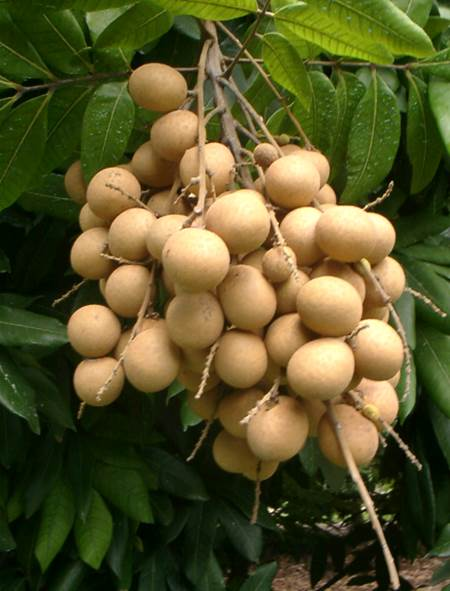 Longan is a popular fruit for its sweet smell and flavor.
