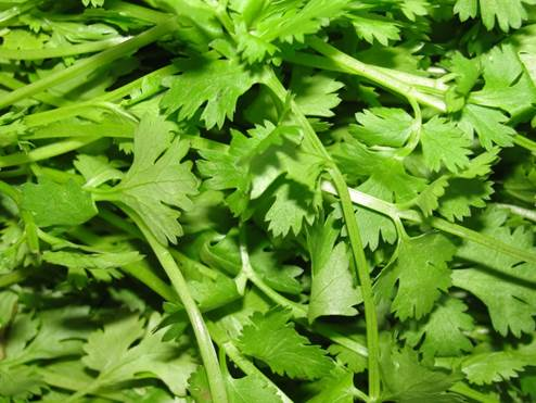 Handful of fresh coriander leaves