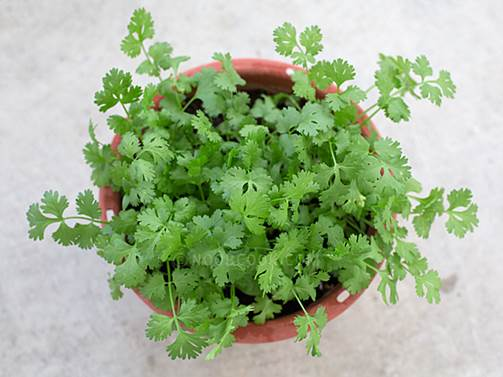 Coriander is believed to have antihistamine and anti-inflammatory properties, meaning it may reduce symptoms of eczema and hay fever.