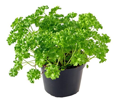 Parsley contains more vitamin C, gram for gram, than most citrus fruits, so it's a great way to charge your immunity.