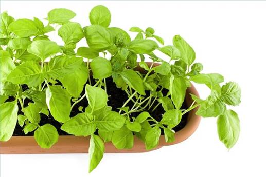 Basil is packed full of flavonoids, which have been shown to protect cells from chromosoma damage.