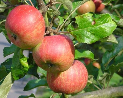 You need to know how to choose delicious apples.