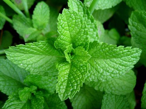 Mint leaf can help reduce nausea, morning sickness and flatulence.