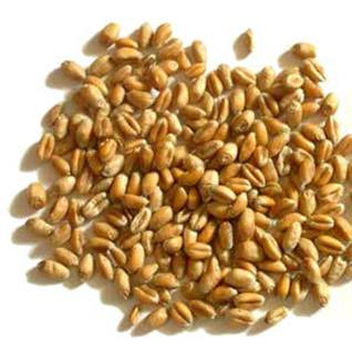 Description: Wheat grain