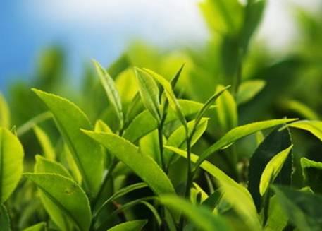 Description: Green tea