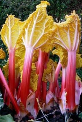 Description: Forced rhubarb