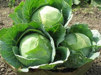 Description: Spring cabbage