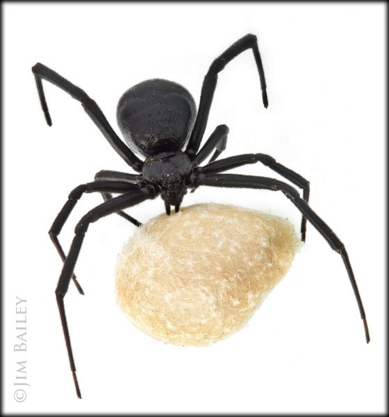 Description: I watched an egg sac burst and release hundreds of baby spiders across the room and over my head.