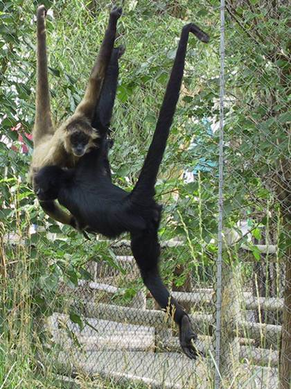 Description: There was a large spider monkey swinging through the trees right in front of me.