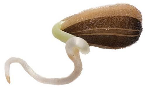 Description: Sunflower seed