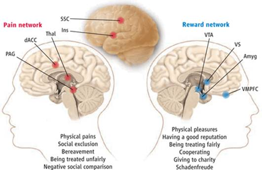 Description: This network is implicated in physical and social pain processes