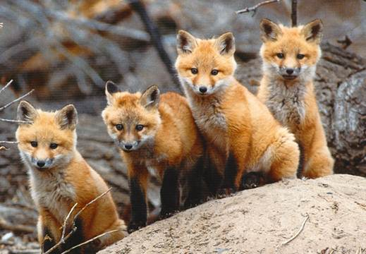 Description: May is the month when fox cubs can be seen taking their first steps into the outside world.