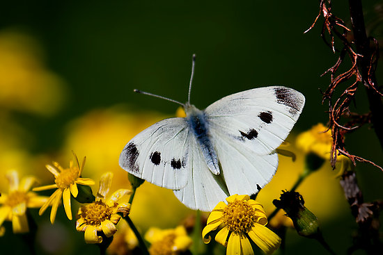 Description: The small white is, naturally, smaller than the large white.