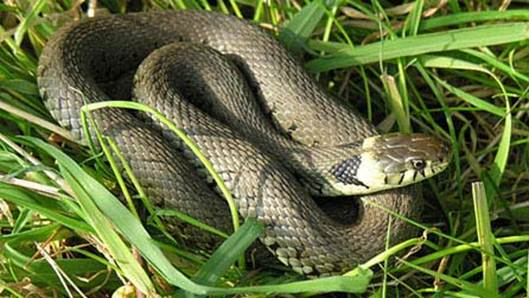 Description: 'Grass' snake is something of a misnomer for this, our largest snake at up to 190cm long.