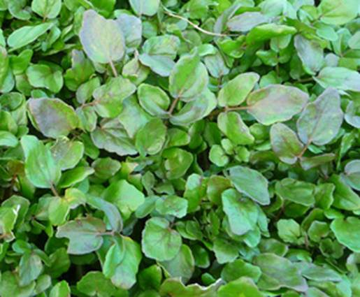 Description: Both the Greeks and the Romans believed that eating watercress would cure madness.