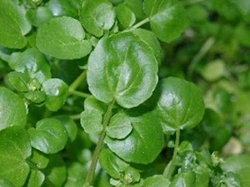 Description: Watercress grows wild in streams in Europe and Asia, and was probably first cultivated in Germany in the mid-16th century.