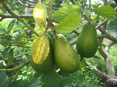 Leaf, bark and young branches of avocado tree can cure diarrhea, dysentery, food poisoning, reduce coughing.