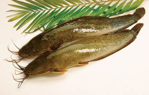 Catfish not only is the food that has high nutritious value but also has good effects in curing diseases.