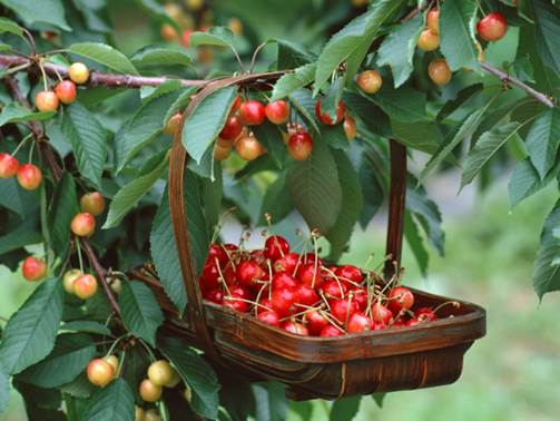 Cherry is a kind of fruits that contain lots of antioxidants so it can improve the immunity of pregnant women.