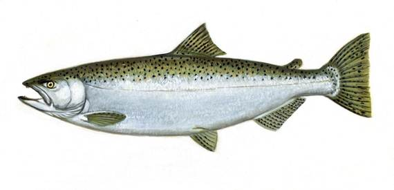 Description: http://images.wikia.com/endlessocean/images/f/f8/ChinookSalmon.jpg