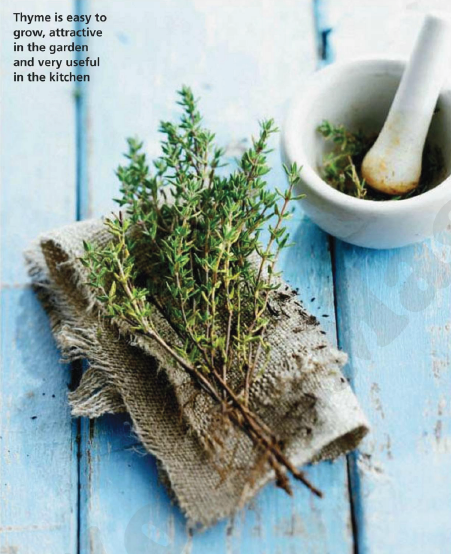 Description: Thyme is easy to grow, attractive in the garden and very useful in the kitchen