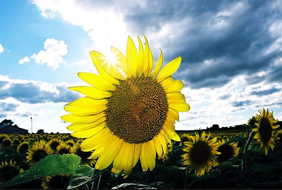 Sunflower seeds are not only for the birds.