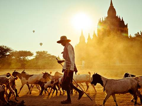 Description: A farmer herds goats near a Buddhist temple in Bagan
