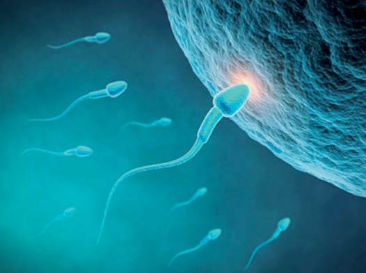 In order to be fertile a man must be able to deliver an adequate quantity of normal sperm to a woman's vagina and that sperm must be able to find their way along the narrow neck of the cervix and into the womb and up the fallopian tubes to fertilize the waiting egg