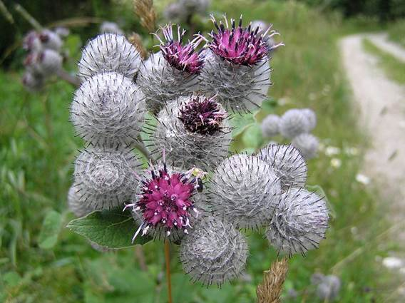 Burdock is a big herbal that belongs to the Thistle group.