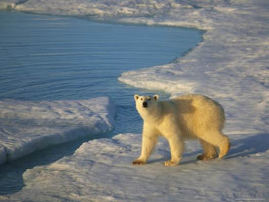Description: Polar bears outnumber humans up here