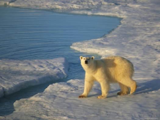 Description: Polar bears outnumber humans up here