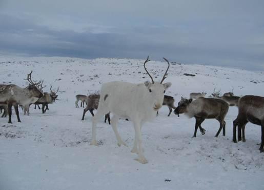 Description: The white reindeer