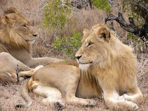 Description:  Lions in Kruger National Park