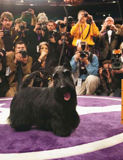 Description: After two long days of grooming and competition, this young Scottish terrier has just won the 'Best in Show' trophy at the 134th Westminster Kennel Club Dog Show, in New York. Photographers swarm around her as she poses like a true professional