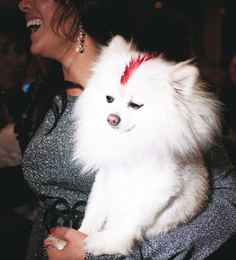 Description: Many events surround the Westminster Dog Show, particularly dog fashion shows. Famous pooch Preston Casanova's expression contradicts his Californian owner's. But the pink Mohawk-ed Pomeranian accepts the situation