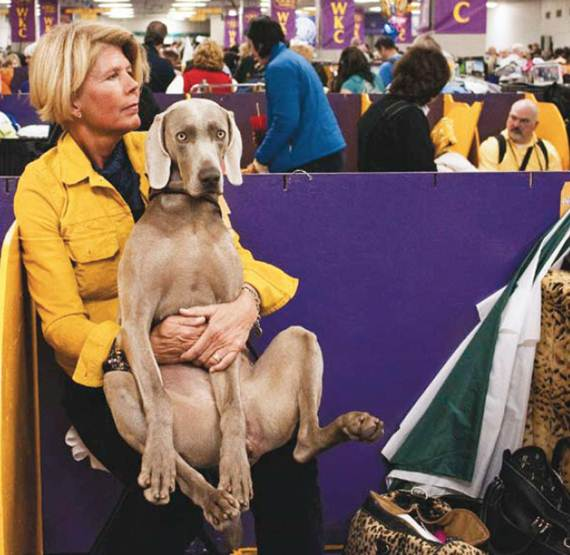 Description: Backstage, Jake, a vizsla, waits on the lap of his owner, who wears a crisp outfit and polished shoes. The lady's legs seem to prolong the dog's body. They are quiet, at peace, almost as one