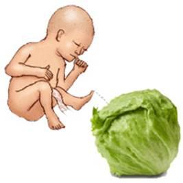Description: Pregnancy handbook: baby has a size of a cabbage