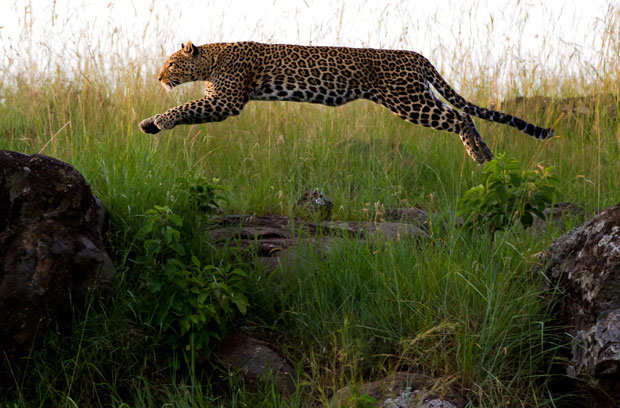 Description: On a clearing close to the Leopard Gorge, my guide Stanley Kipkoske called my attention to a cheetah rustling like a ravenous predator through the grass, her gaze directed at a helpless prey