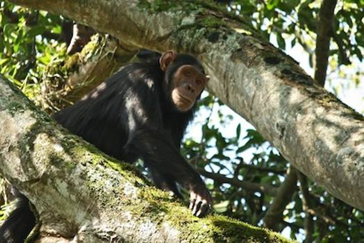 Description: the habituated chimpanzees at Tongo Forest