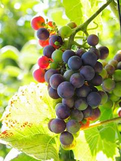 Description: Grapes