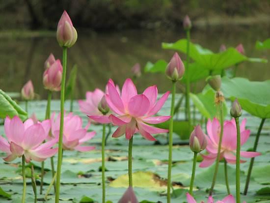 Lotus has plenty of nutrients