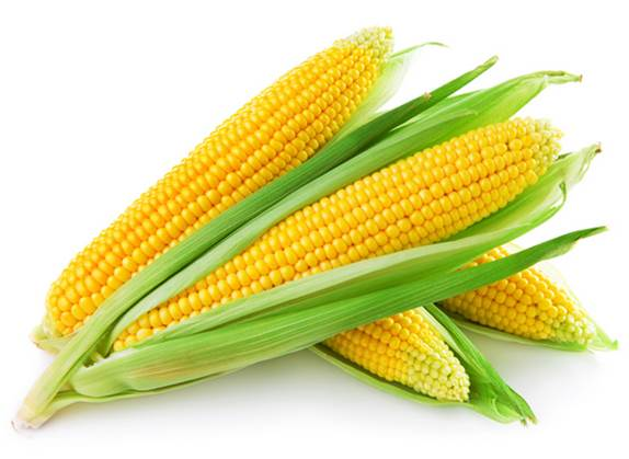 The corn is highly appreciated for its nutritional values